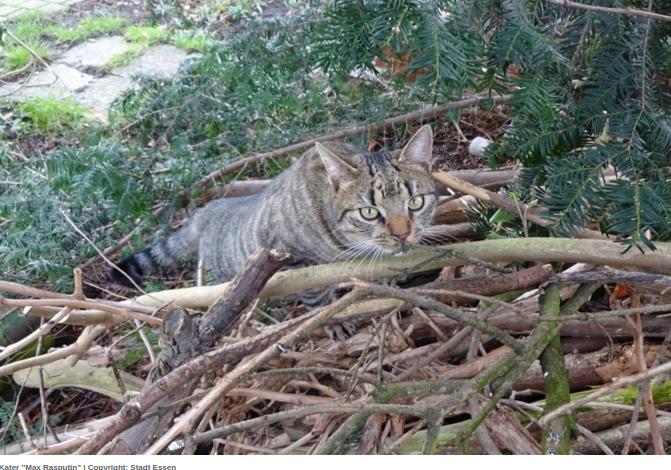 Künftig gilt Kastrations- und Registrierpflicht für Freigänger-Katzen