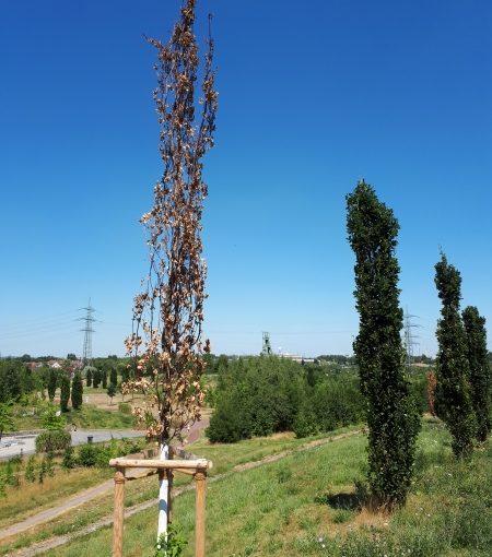 Große Dürre: Schon viele dutzend Bäume in Essen verdorrt